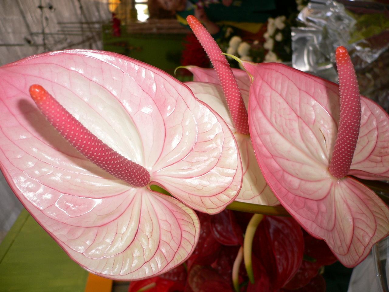 Pink Anthurium Flamingo Flower A Photo On Flickriver