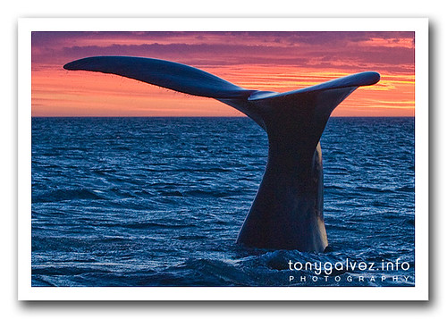 Southern right whale / Ballena franca austral, Península Valdés