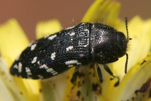Header of Acmaeodera rubronotata