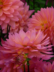 gerbera(0.0), city car(0.0), asterales(1.0), annual plant(1.0), dahlia(1.0), flower(1.0), plant(1.0), macro photography(1.0), chrysanths(1.0), pink(1.0), petal(1.0),