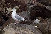 Western Gull and Black-Legged Kittiwake