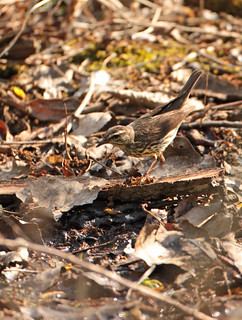 Louisiana Waterthrush in Ohio by Matt Tillett (CC BY)