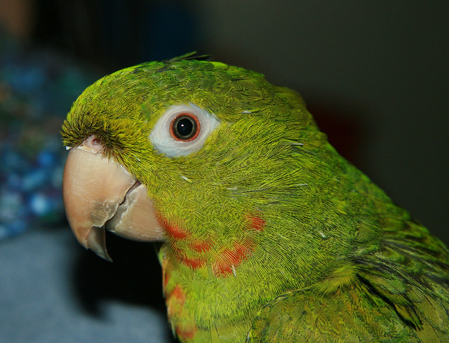 Red Throat Conure 4