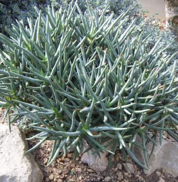 Aloe ramosissima 2307029019_a09fae75cd_o