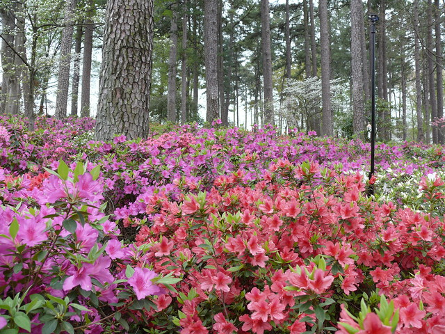 Wral azalea gardens raleigh nc flickr photo sharing for Gardens in raleigh nc