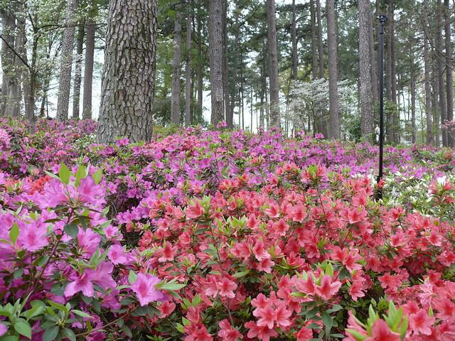 Wral Azalea Gardens Raleigh Nc Flickr Photo Sharing