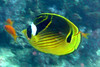 Raccoon butterflyfish - Similan Islands, Thailand