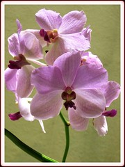 Purple Vanda Orchid in our garden, April 8 2008