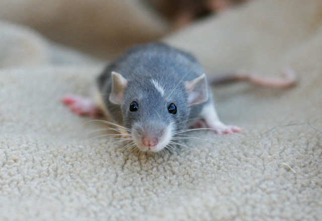 Russian Blue Dumbo Rat