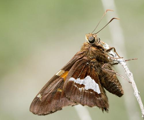 butterfly insect northcarolina lepidoptera fieldtrip piedmont silverspottedskipper epargyreusclarus pyrginae epargyreus hesperidae canonef100mmf28macrousm mitchellmillsna dnhs20110530