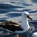 Yellow-nosed Albatross - Photo (c) David Cook Wildlife Photography, some rights reserved (CC BY-NC)