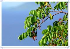 20041020_Guana@BVI_Unkown Plant_001_A