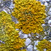 Maritime Sunburst Lichen - Photo (c) Drow_male, some rights reserved (CC BY-SA)