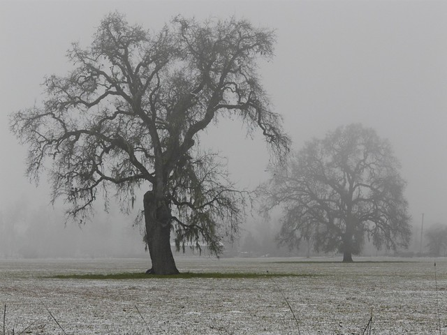 Valley Oaks in Fog & Snow