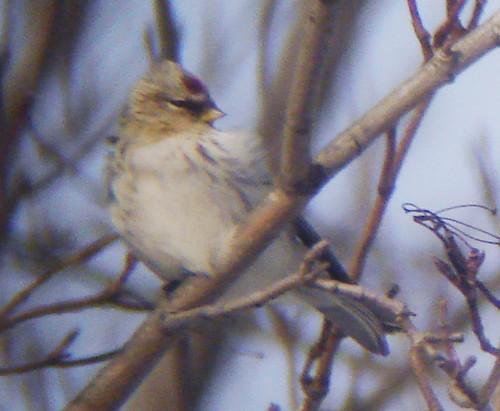 Hoary Redpoll (Carduelis hornemanni)