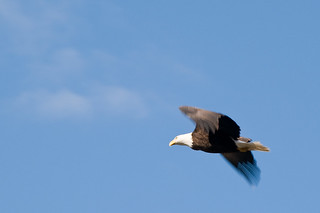 Bald eagle fly-by