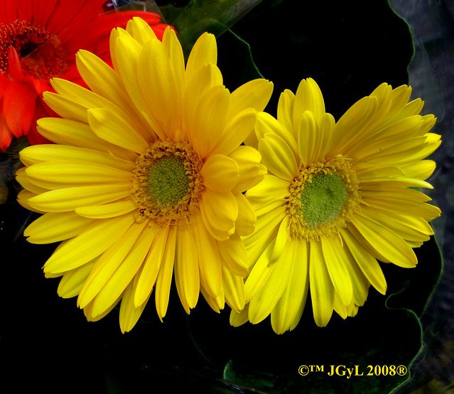 images amarillo flower home