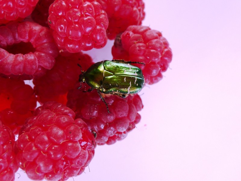 Rose Beetle on raspberries