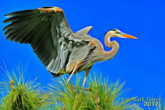 Great Blue Heron playing in the Pine tree