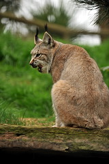 cougar, animal, small to medium-sized cats, pet, mammal, lynx, fauna, puma, wild cat, whiskers, bobcat, wildlife,