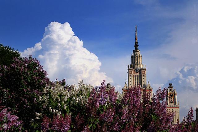 Сирень в ботаническом саду МГУ, Lilacs (Syringa) in the Botanical Garden of Moscow State University