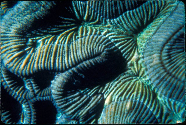 Brain coral at depth of 40 feet