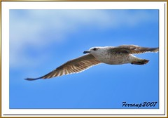 gavià argentat, jove - gaviota patiamarilla, joven 10 -  yellow-legged gull, young- larus cachinnans