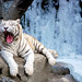 Best of 'White Tigers'