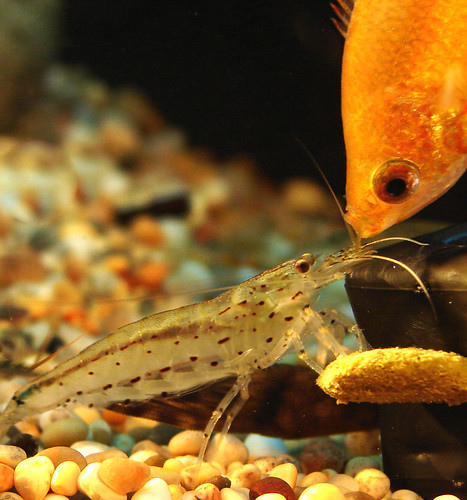 Caridina Japonica Shrimp & Honey Gourami
