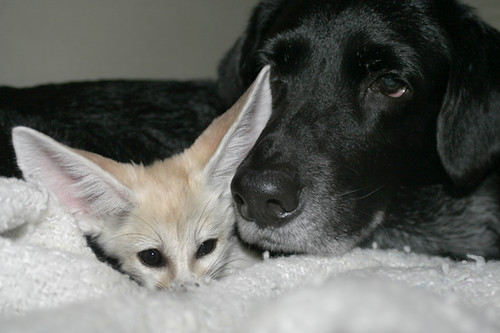 Scout And Doggie Napping Time My Fennec Fox Scout Abou Flickr
