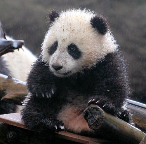 A wet Baby Zhen Zhen