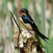 Barn Swallow - Photo (c) Minette Layne, all rights reserved