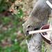 2017/02/17 (金) - 10:34 - 隣家の鳥のエサ台からちゃっかり食べている