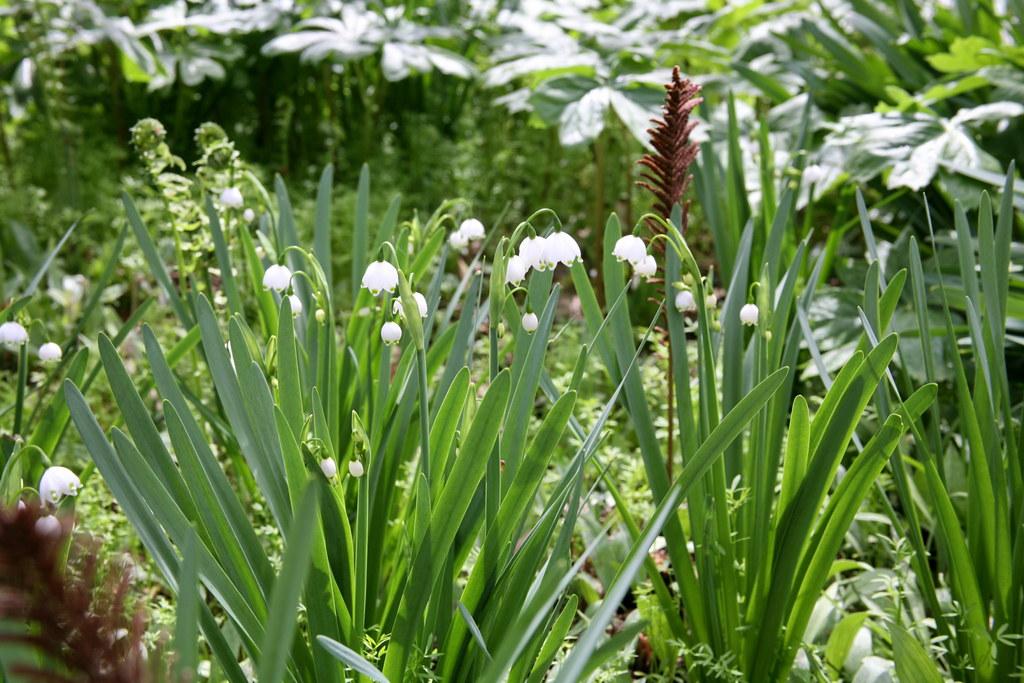 'Gravetye Giant' (Leucojum aestivum) Summer Snowflake