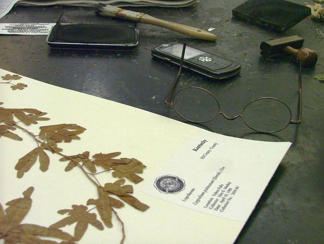 Lygopodium palmatum