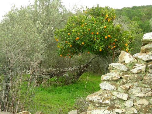 8013 Orange Tree, water well and Olive Trees