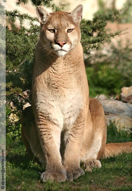 cougar puma lynx find