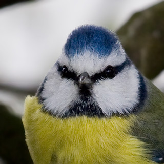 Blue tit - pimpelmees - cinciarella