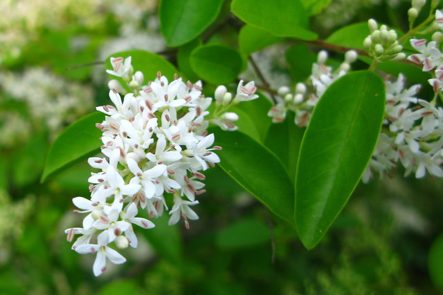 Header of Amur privet