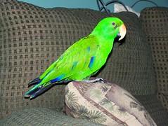 animal, lovebird, parrot, wing, pet, green, fauna, parakeet, common pet parakeet, beak, bird,