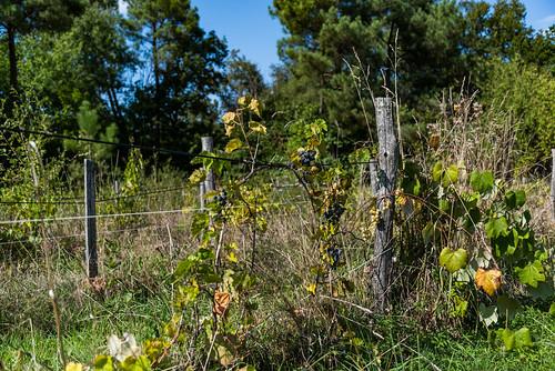 03-Vignes abandonnées