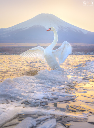 animal fuji fujisan fujiyama ice japan lake landscape mountain nature sunset swan twilight volcano winter yamanakako yamanashi minamitsurugun yamanashiken jp