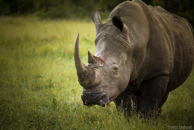 Q De Rhino Rhinoceros Africa | Fl...