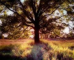 An oak in autumn