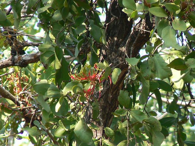 Honey Suckle Mistletoe | Flickr - Photo Sharing!
