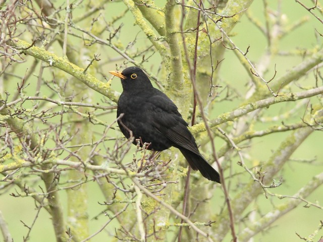 Just a Blackbird.