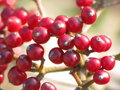 branch, red, produce, fruit, food, lingonberry,