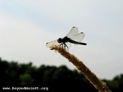 Dragonfly on Long Lake