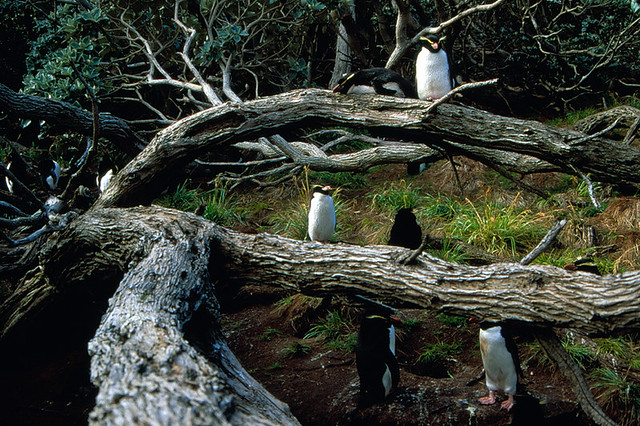 Snares Created Penguin up tree