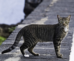 animal, tabby cat, small to medium-sized cats, pet, mammal, european shorthair, fauna, cat, wild cat, whiskers, domestic short-haired cat, wildlife,
